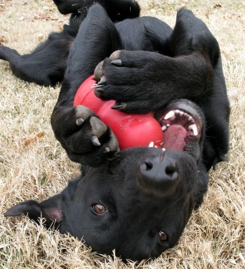 dog-and-kong